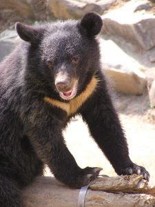 Formosan_Black_Bear Wikicommons